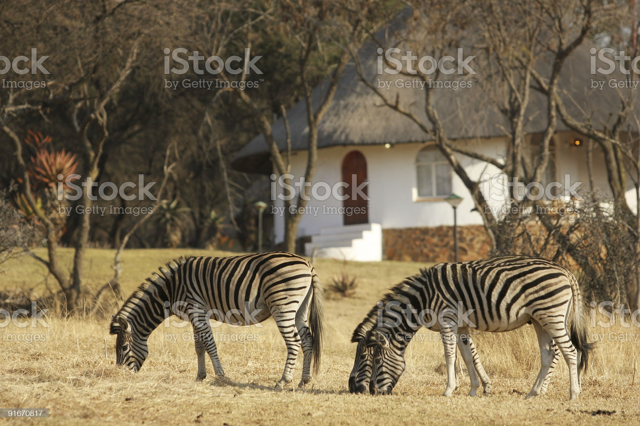 Zebra and Lodge South Africa royalty-free stock photo