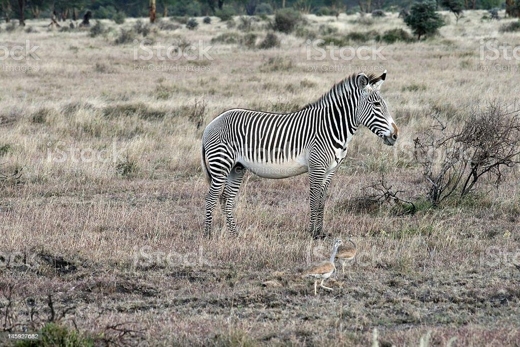 Zebra and the Sahara royalty-free stock photo