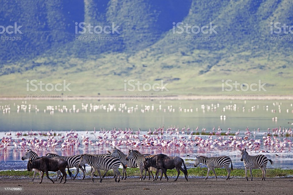 Zebra and wildebeest next to lake in the Ngorongoro Crater stock photo