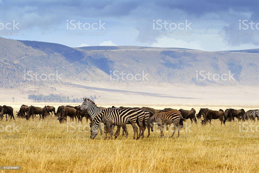 Zebra and wildebeest stock photo