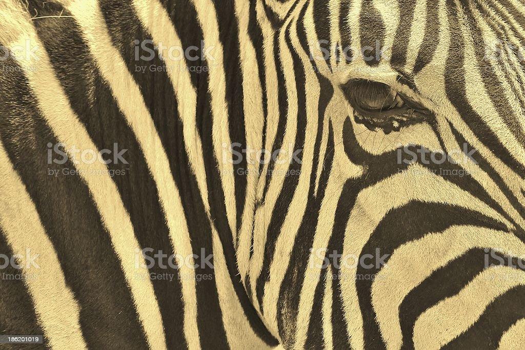 Zebra - Animal Kingdom and Wildlife Background from Africa royalty-free stock photo