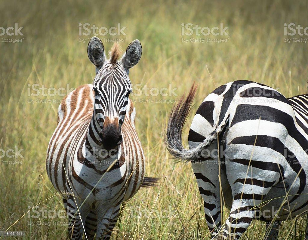 Zebra ass about face stock photo