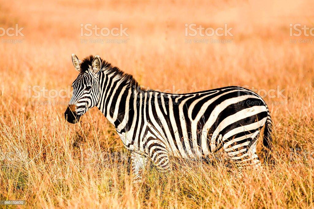 Zebra at Savannah stock photo