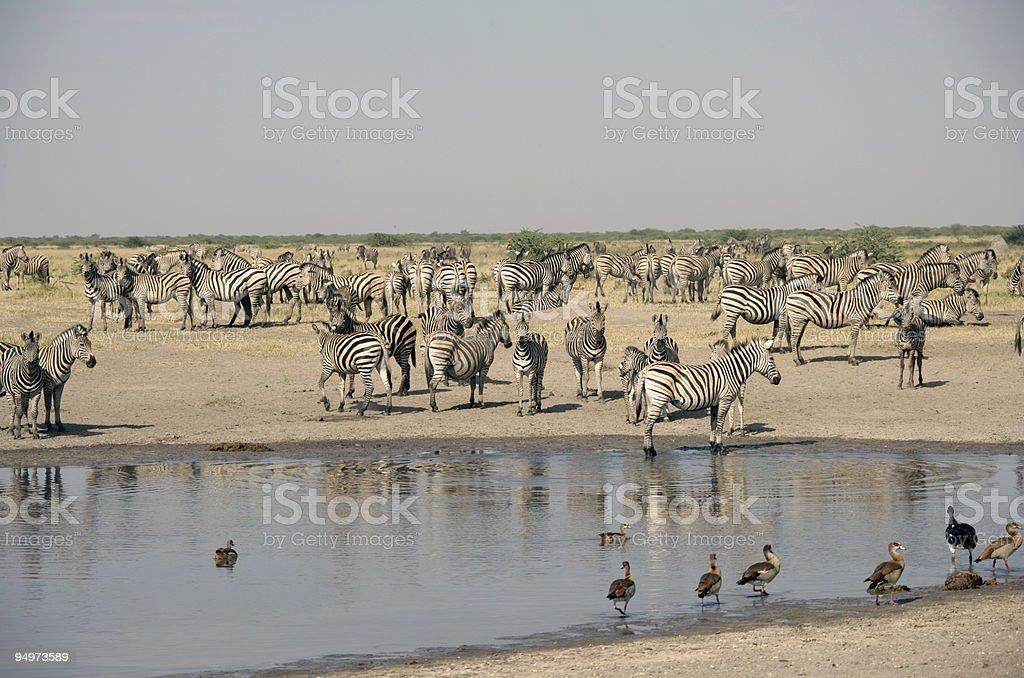 Zebra at Waterhole royalty-free stock photo