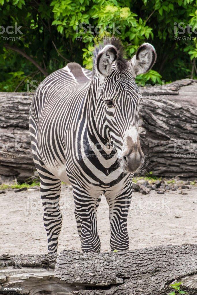 Zebra black and white fur big ears stripes stock photo