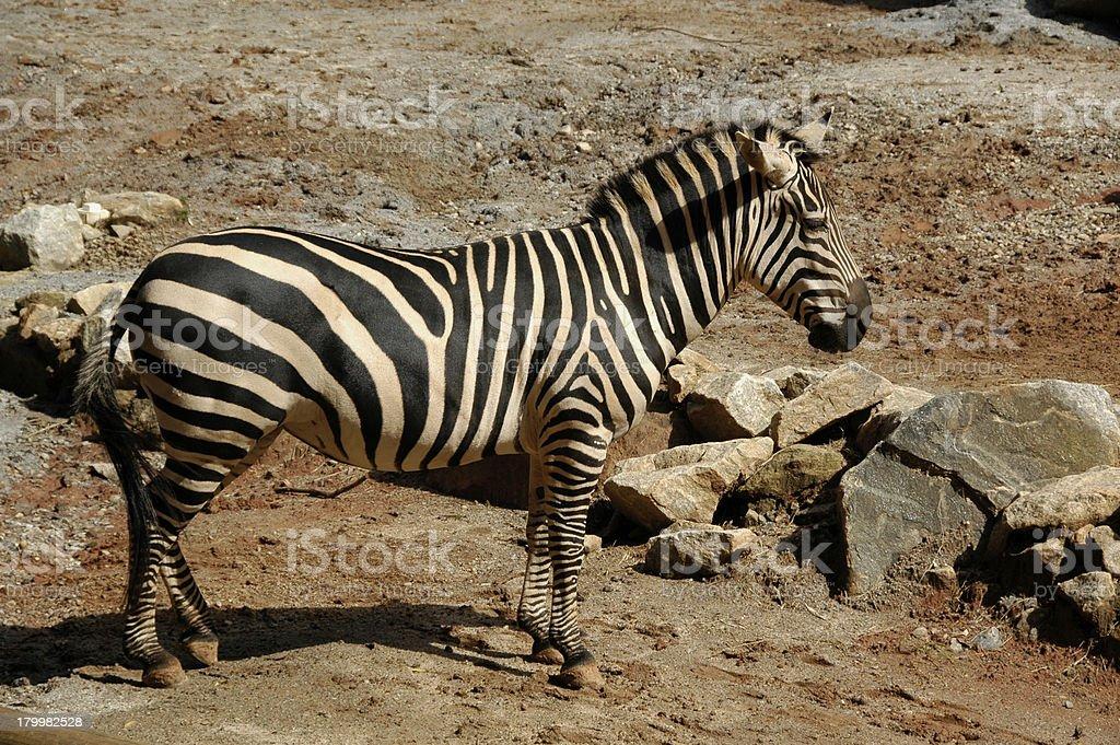 Zebra, Burchell's  (Equus Burchellii) royalty-free stock photo