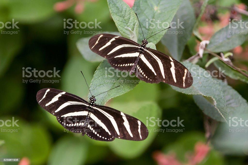 Zebra butterfly (Heliconius charitonia) stock photo