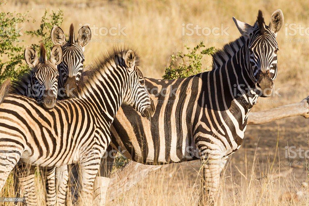 Zebra Clan stock photo