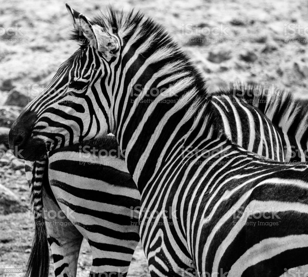Zebra Close Up Black And White stock photo