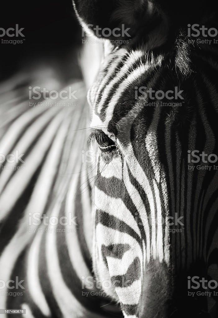 zebra close-up stock photo
