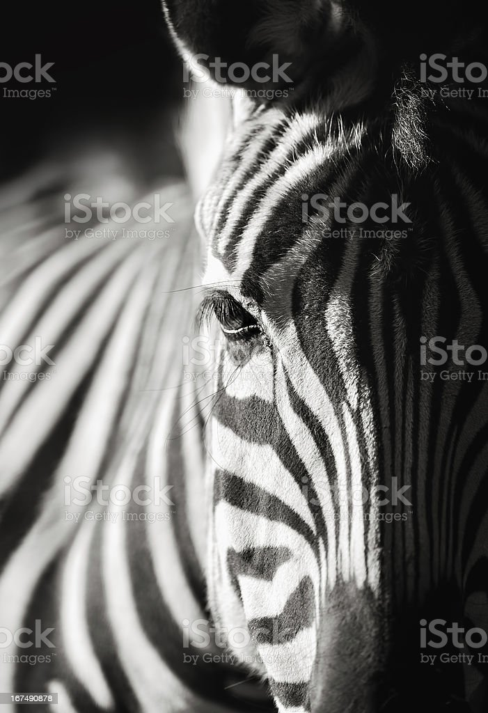 zebra close-up stock photo