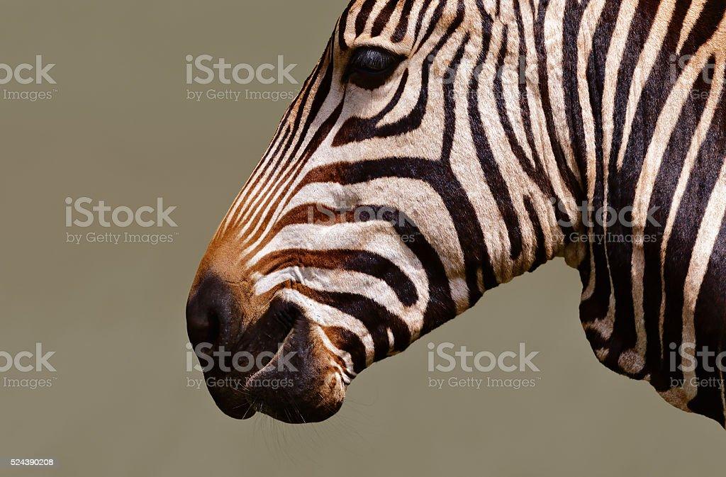 Zebra closeup stock photo