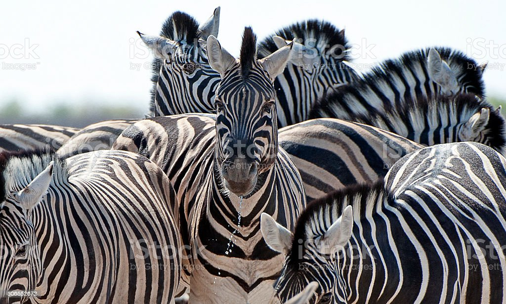 Zebra collection, Etosha National Park, Namibia, Africa stock photo