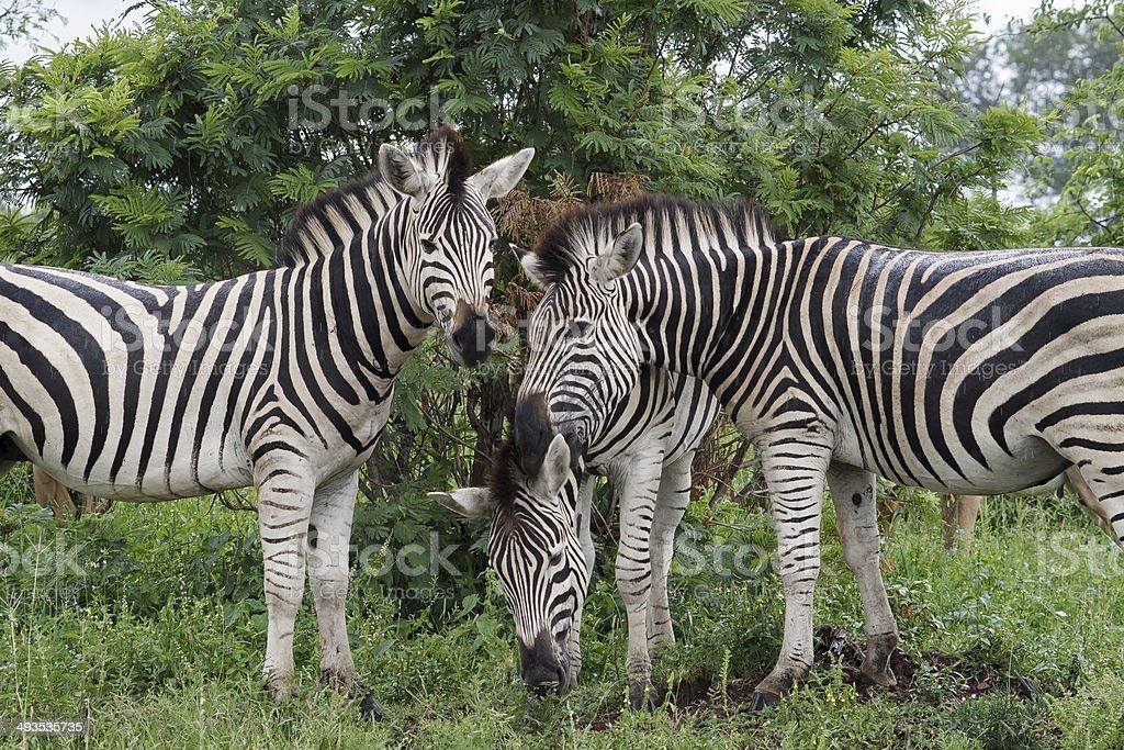 Zebra Discussion stock photo