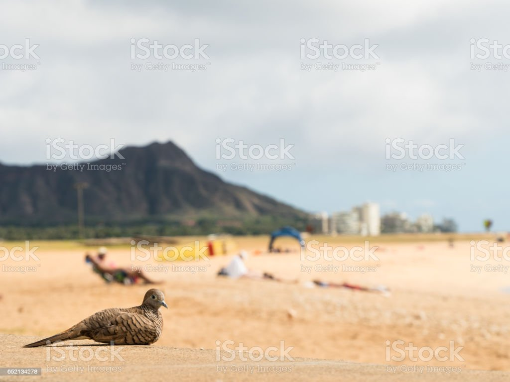 Zebra Dove and Diamond Head at Ala Moana Beach Park, Waikiki, Honolulu, Oahu Island, Hawaii. stock photo