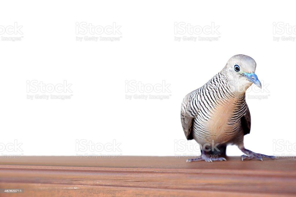 Zebra Dove royalty-free stock photo