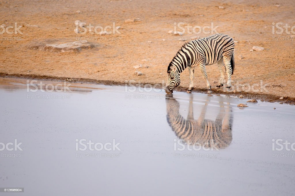 Zebra drinking water stock photo