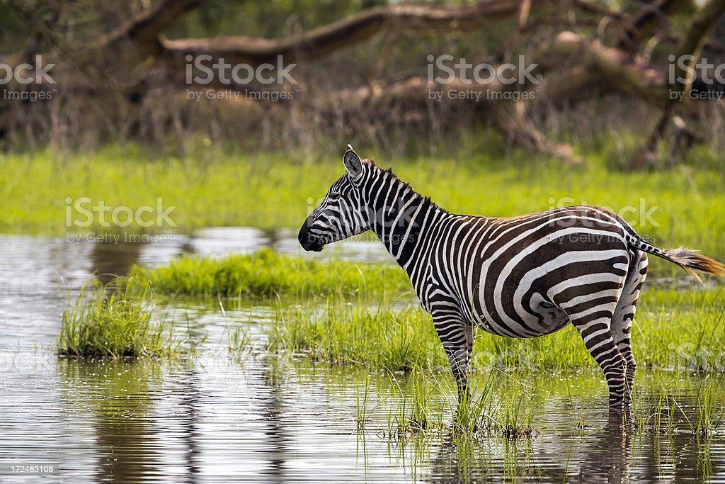 Zebra - drinking water with birds royalty-free stock photo