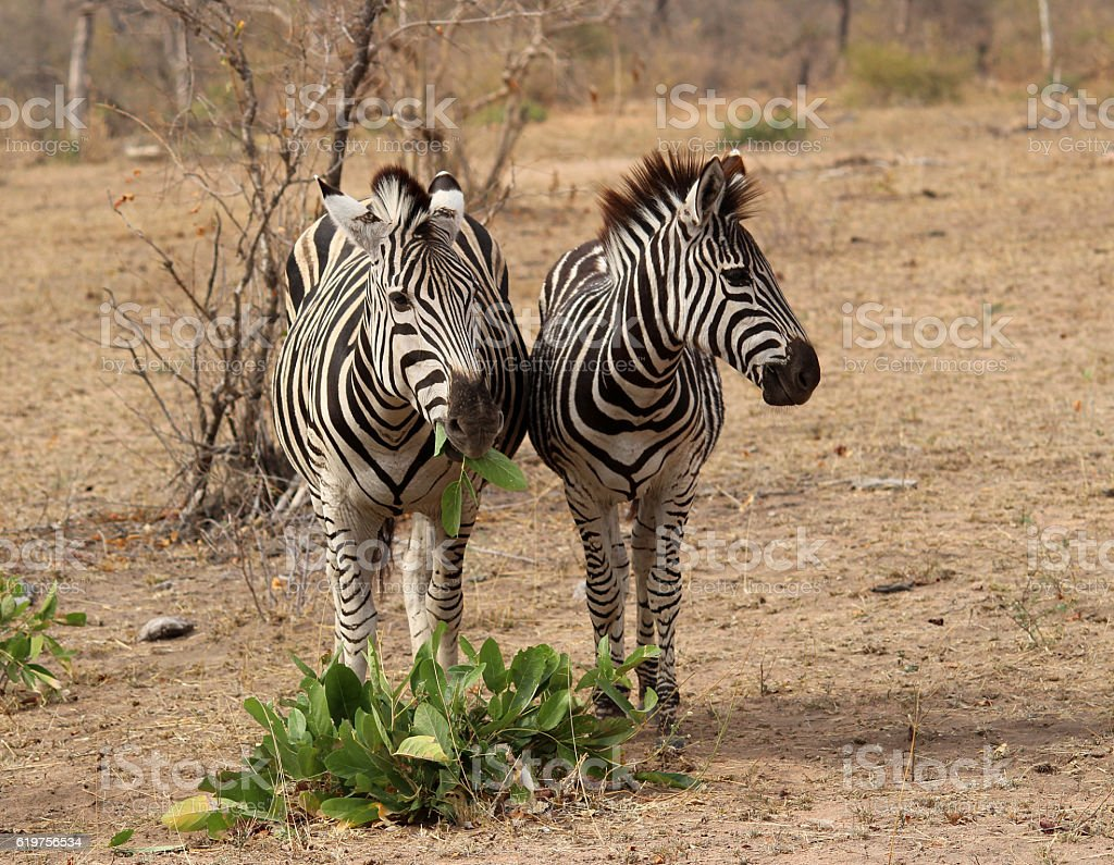 Zebra eating stock photo