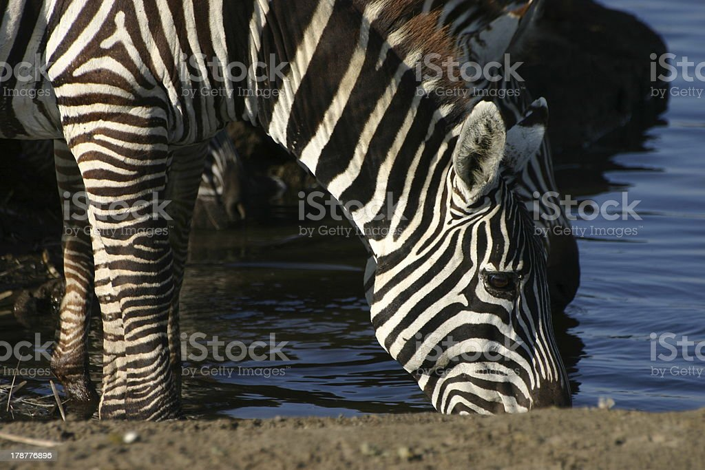 Zebra, Equus quagga at Lake Nakuru, Kenya, Africa royalty-free stock photo