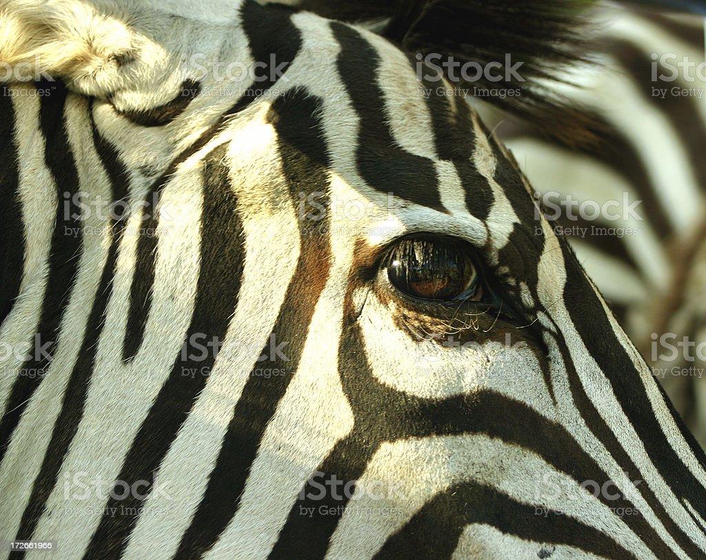 Zebra face closeup royalty-free stock photo