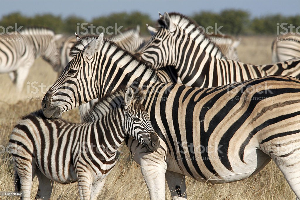 Zebra Family royalty-free stock photo