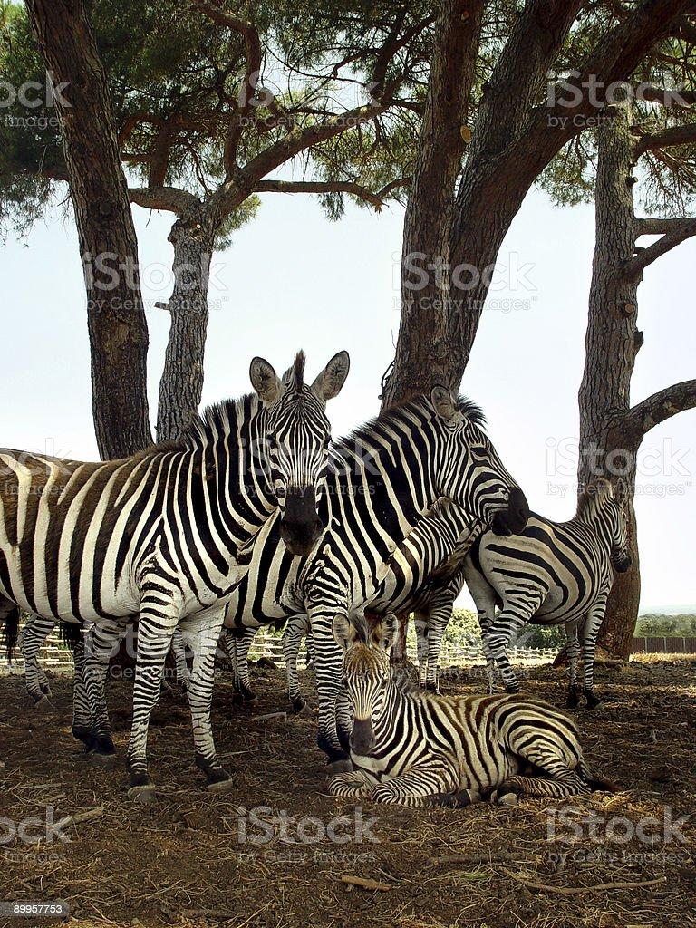 Zebra family stock photo