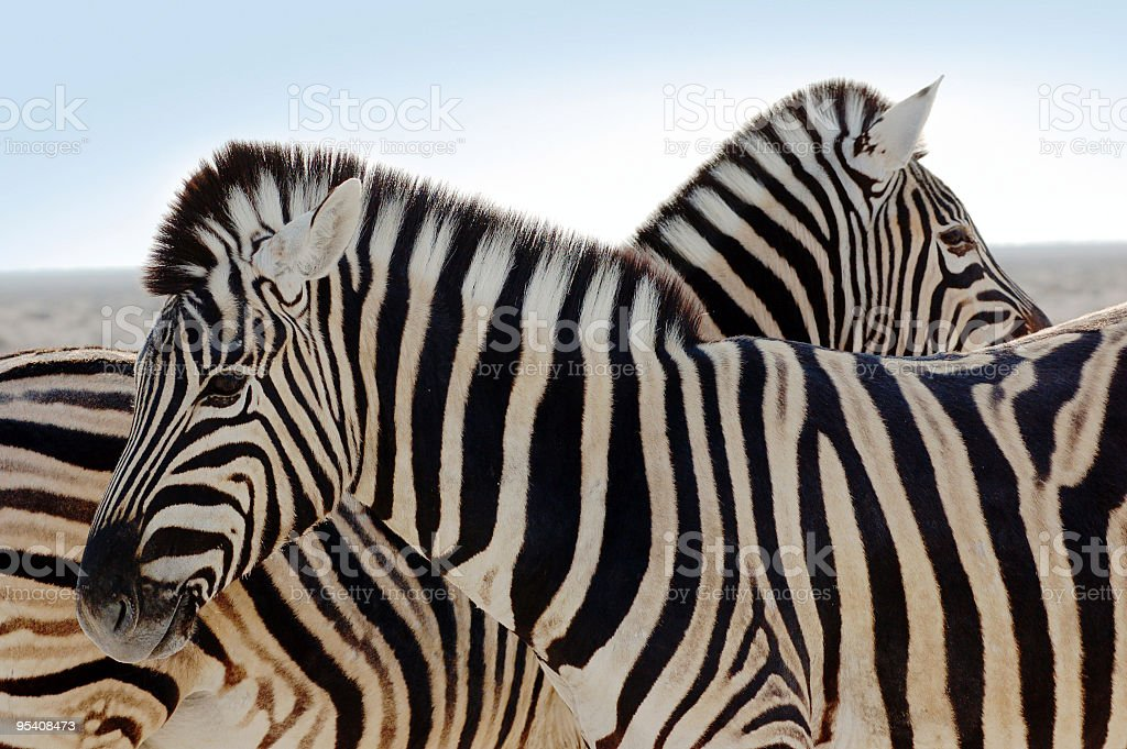 A zebra family standing together in the wild royalty-free stock photo