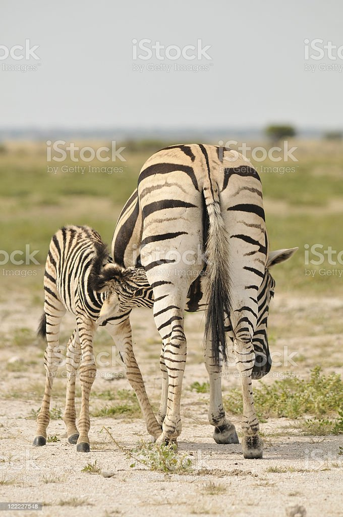 Zebra feeding its foal stock photo