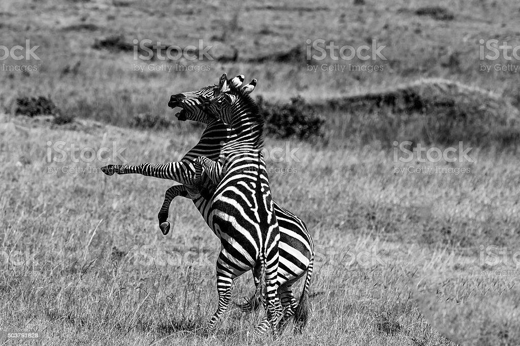 Zebra Fighting stock photo