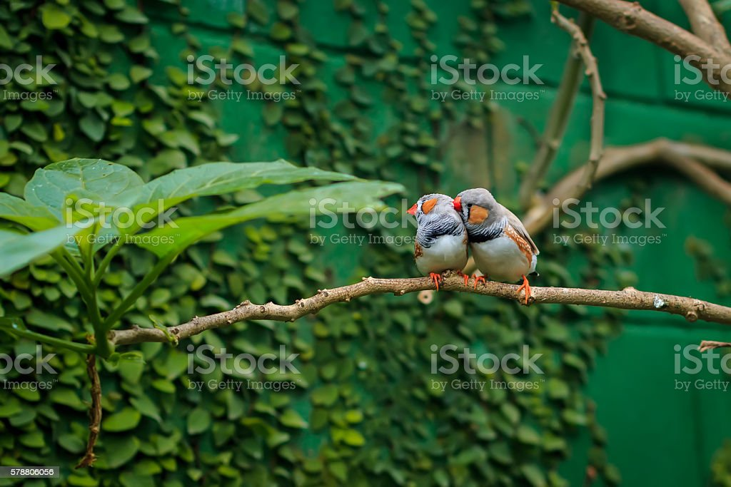 Zebra finch couple sitting on a branch stock photo