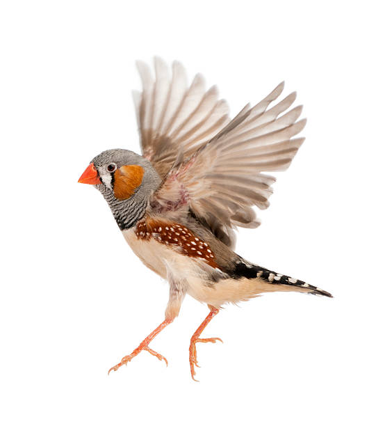 Zebra Finch Pictures, Images and Stock Photos - iStock