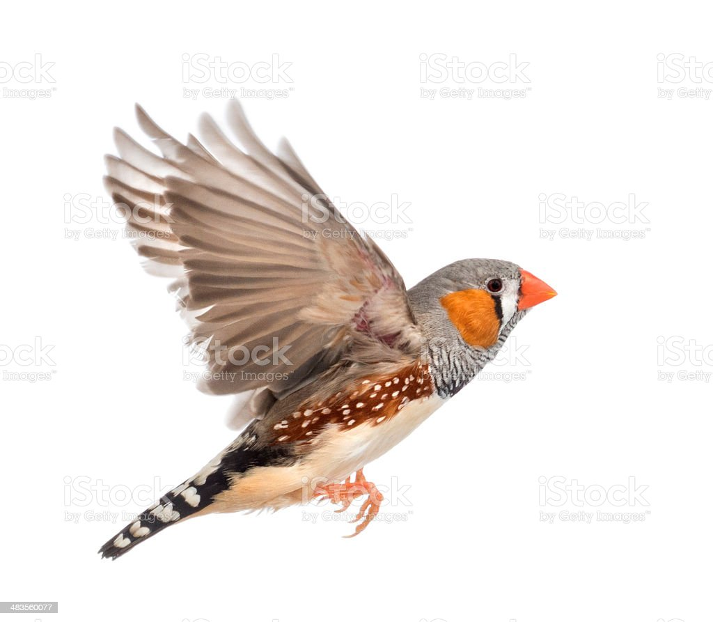 Zebra Finch flying, Taeniopygia guttata, against white background stock photo