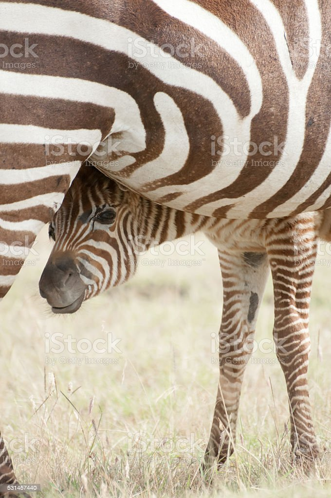 Zebra Foal and Mother stock photo