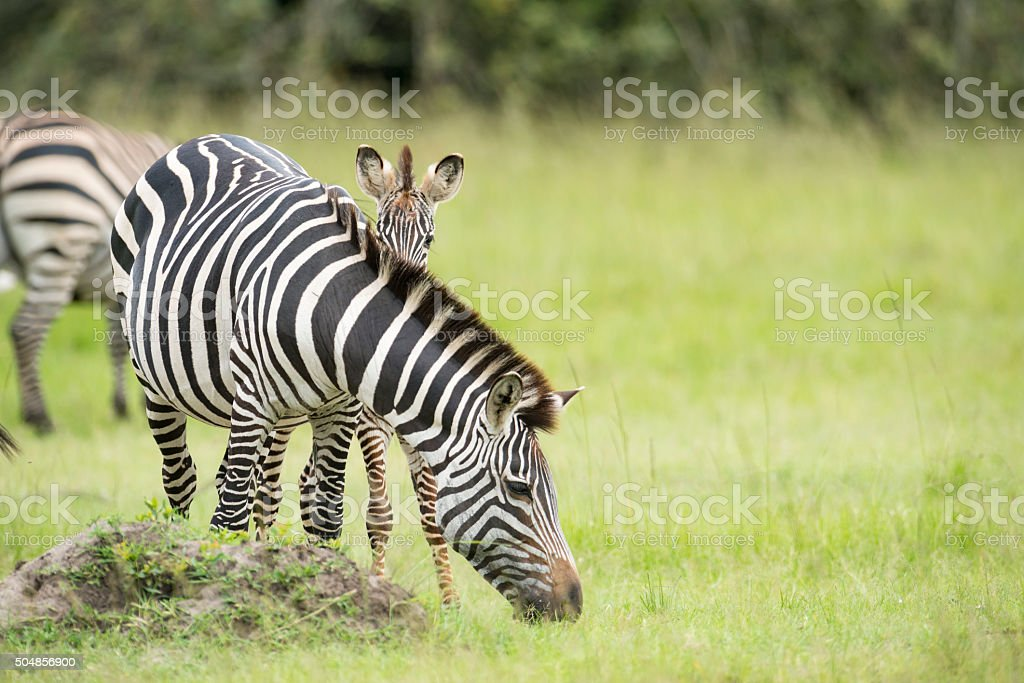 Zebra Foal hiding behind mother stock photo