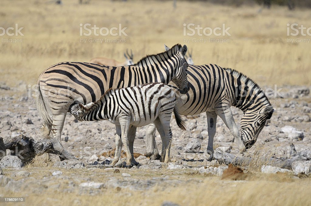 Zebra foal suckling stock photo
