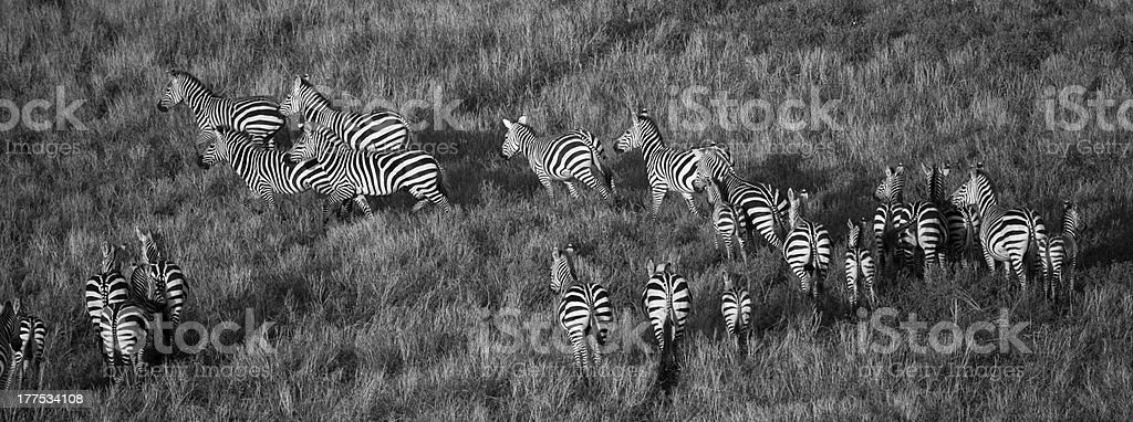 Zebra from Above stock photo