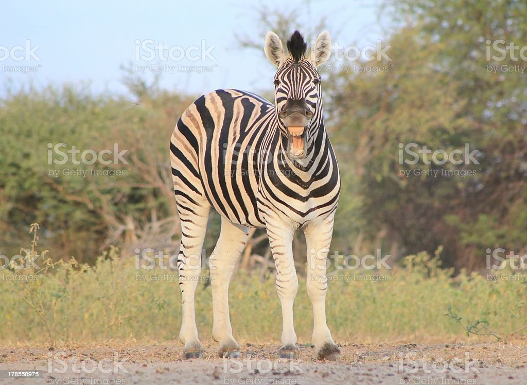 Zebra funny yawn - Wildlife from Africa royalty-free stock photo