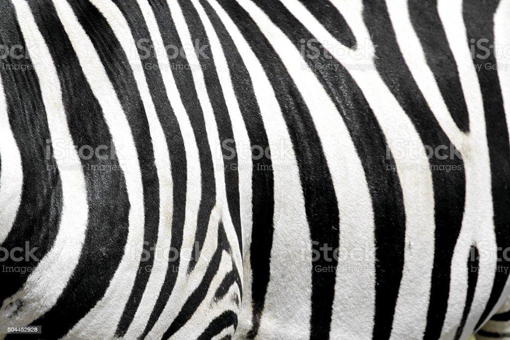 Zebra fur stock photo