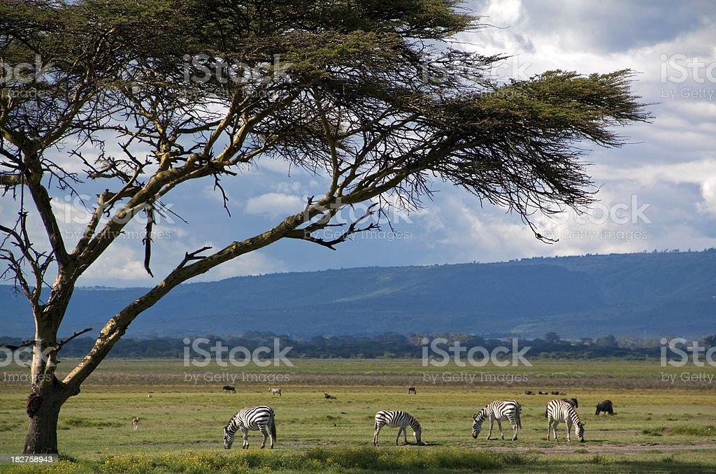 Zebra graze under acacia tree royalty-free stock photo