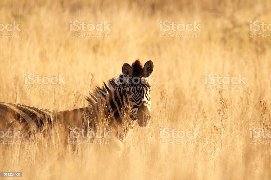 Zebra grazing in the tall dry African grass stock photo
