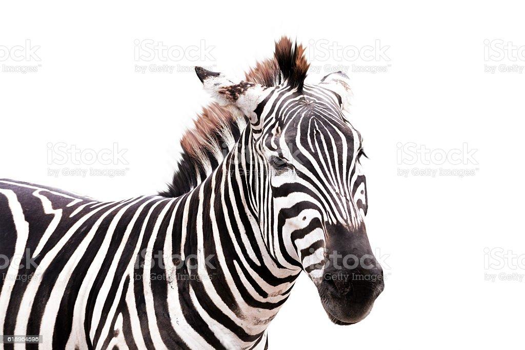 zebra head side shot isolated on white background stock photo