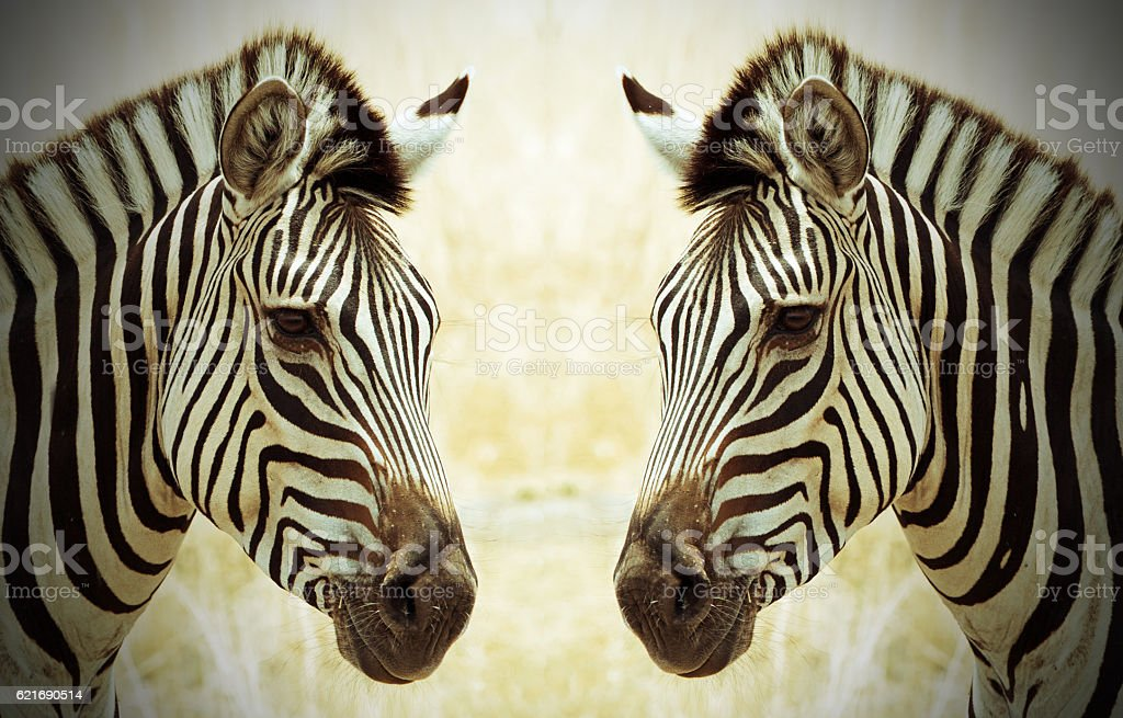 Zebra Heads face to face with a vignetted edge stock photo