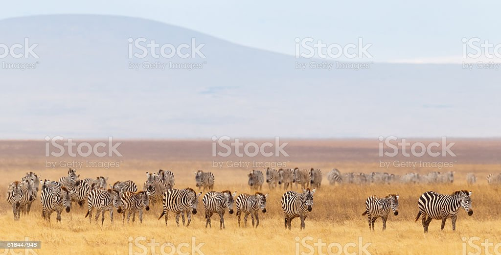 Zebra Herd and Golden Grasslands of the African Savanna stock photo