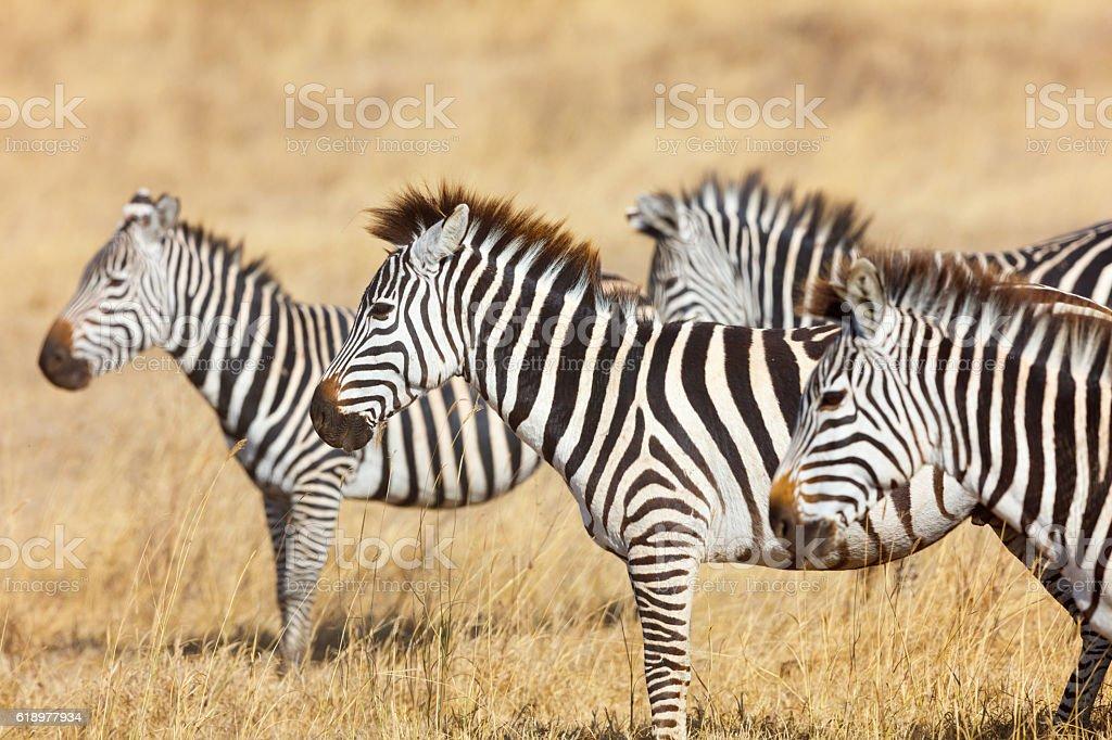 Zebra Herd and Golden Grasslands of the African Savanna stock photo
