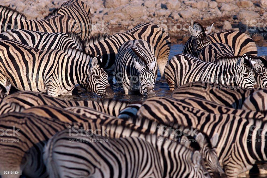 Zebra herd congregating at Okaukuejo waterhole, Etosha National Park, Namibia stock photo