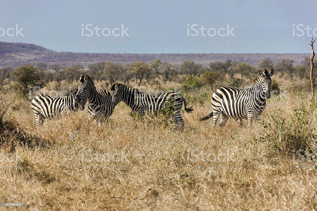 Zebra Herd in the Open. stock photo