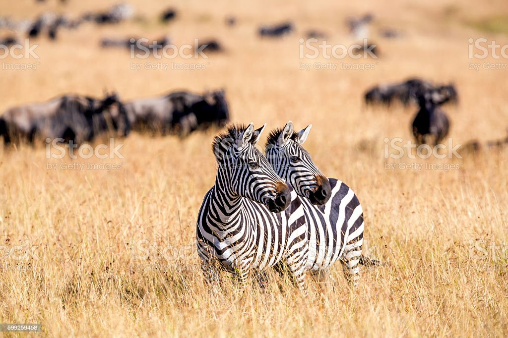 Zebra herd nad Wildebeests Grazing at Savannah stock photo