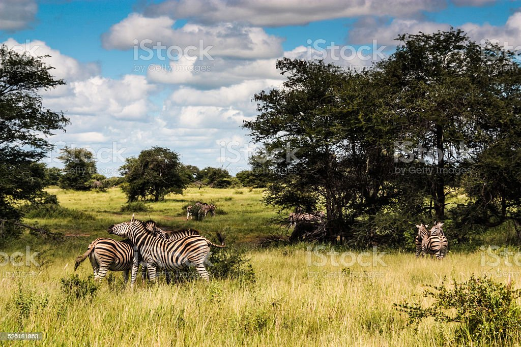 Zebra Herd stock photo