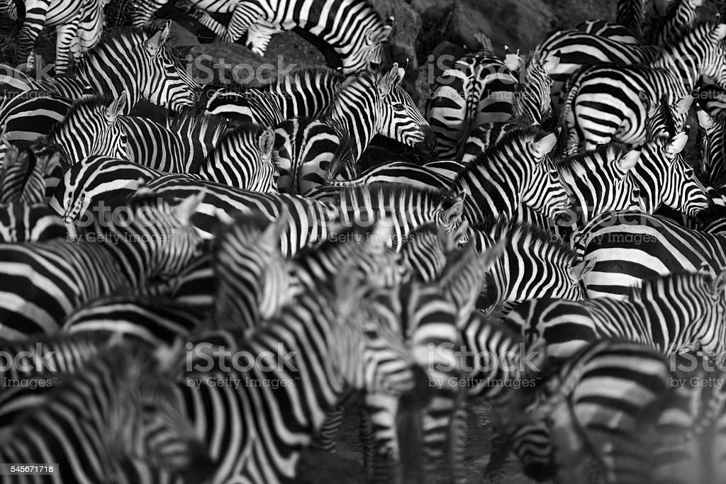 Zebra herd stock photo
